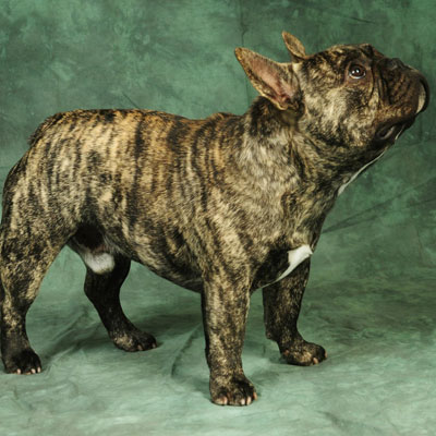 Tiger Brindle French Bulldog