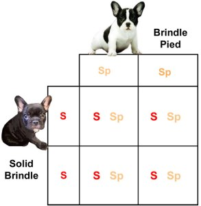 Predicted outcome per offspring:<br /> +S/+Sp - 1:1 (100%)<br /> All offspring will carry pied, but be solid marked.