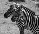 zebra-1077126_1280