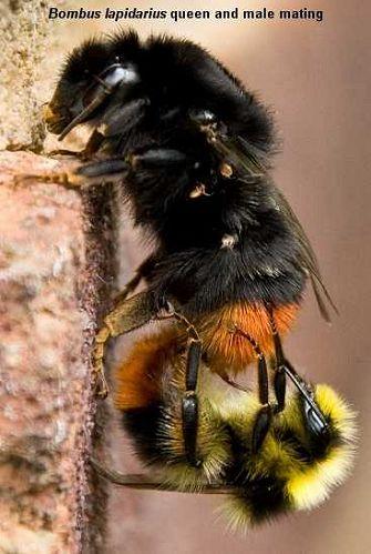 Bombus lapidarius bumblebees mating