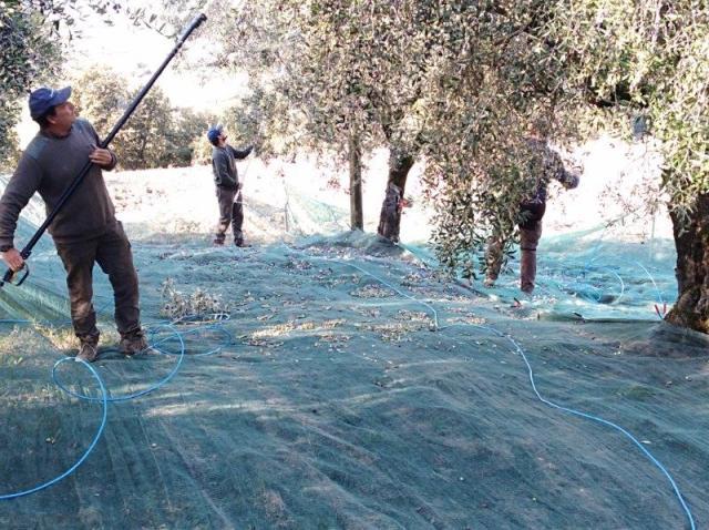 Jak se vyrábí olivový olej - sklizeň