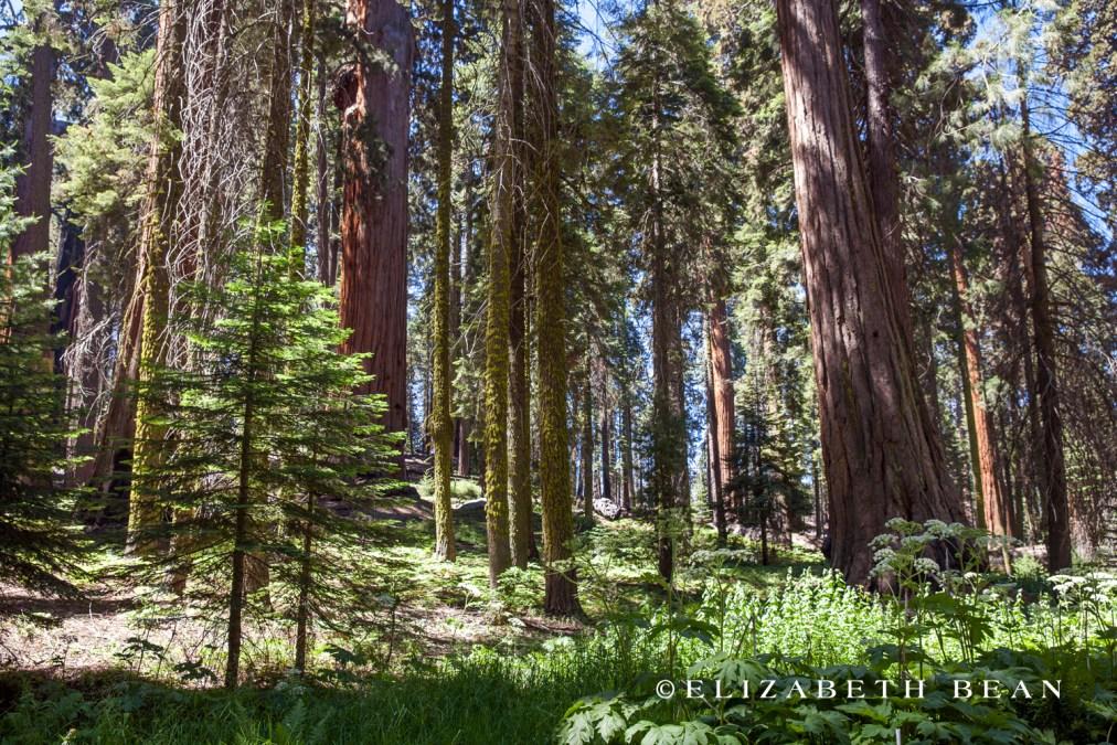 070214 Sequoia 29