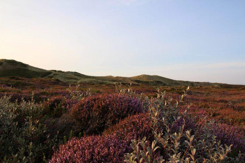Heideblüte auf Sylt