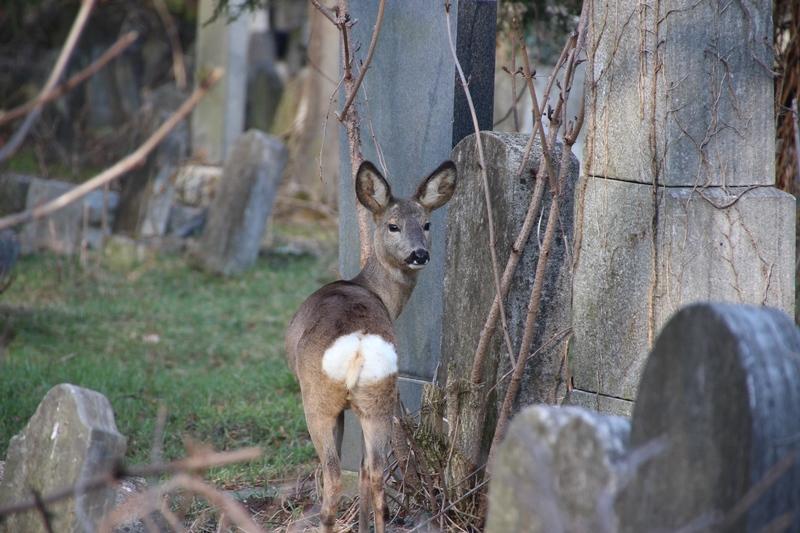 Tiere auf dem Friedhof, Rehe auf dem Friedhof
