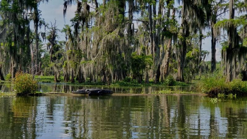 Sümpfe von Louisana, Sümpfe mit Aligatoren