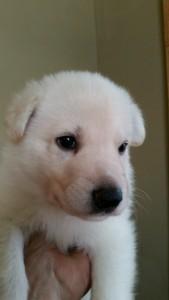 Burgin_Snowcloud_german_shepherd_puppy-for_sale_white_male_4_weeks_old