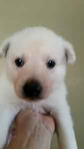 Burgin_Snowcloud_german_shepherd_puppy-sold_white_female2_4_weeks_old
