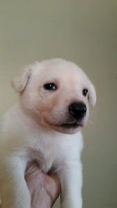 Burgin_Snowcloud_german_shepherd_puppy-sold_white_female_4_weeks_old