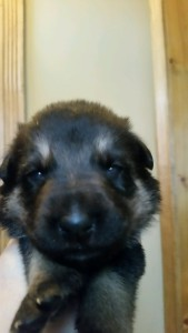 Shepherd Puppy Black and Tan Female Livingston Montana Sold