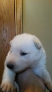 Shepherd Puppy White Male3 Livingston Montana For Sale