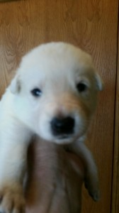 White female german shepherd puppy #5 for sale