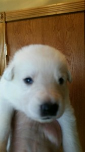 White female german shepherd puppy sold