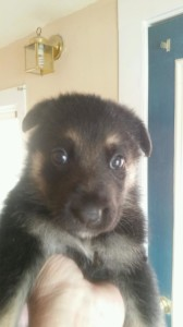 black and tan female german shepherd puppy sold