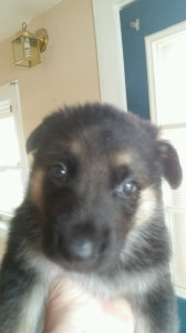 black and tan male german shepherd puppy sold