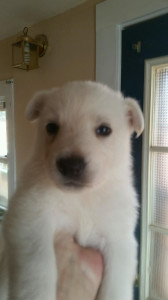 white female #2 german shepherd puppy for sale four weeks old