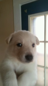white female 5 german shepherd puppy for sale four weeks old