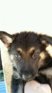 Black-and-tan-Female-Snowcloud-German-Shepherd-Puppy-5-weeks-old-Sold