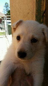 White female, Snowcloud German Shepherd Puppy, 5 weeks old, for sale