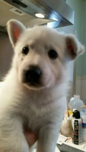 Burgin Snowcloud German Shepherd Puppy White Female2 5 weeks old sold