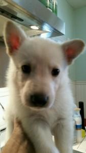 Burgin Snowcloud German Shepherd Puppy White Male3 5 weeks old for sale