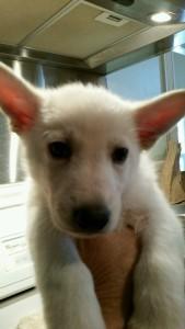Burgin Snowcloud German Shepherd Puppy White Male 6 weeks old for sale