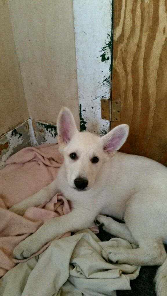 Snowcloud German Shepherd Puppy Female White for Sale