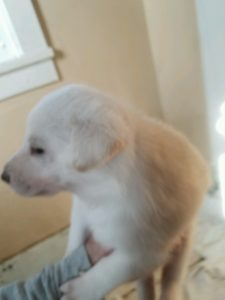 May 17, 2016: White Female #1 Snowcloud German Shepherd Puppy Sold Helena