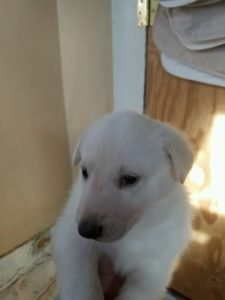 May 17, 2016: White Female Snowcloud German Shepherd Puppy Female #2 Four Weeks old For Sale
