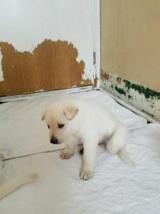 german-shepherd-puppy-4-weeks-old-male2-white-for-sale