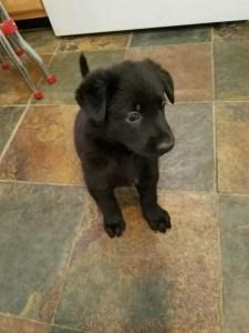 snowcloud-german-shepherd-female-puppy-for-sale-3
