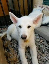 Burgin Snowcloud German Shepherd puppy white female #3, sold.