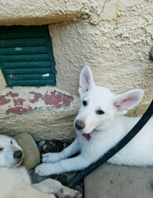 Burgin Snowcloud German Shepherd puppy white female #6, 9 weeks old for sale