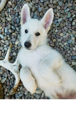 Burgin Snowcloud German Shepherd puppy white male #9, 9 weeks old for sale.