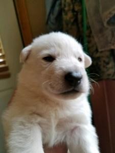 Snowcloud Shepherd Puppy for sale white male 1