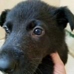German Shepherd Black Male-solid black 5 weeks old sold