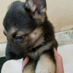German Shepherd Black and Tan Female-#1 5 weeks old for sale