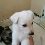 German Shepherd White Female #1 5 weeks old sold