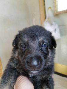 Burgin Snowcloud German Shepherd Puppy for Sale black and tan male red collar three weeks old