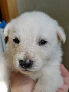 Burgin Snowcloud German Shepherd Puppy for Sale white male brown collar three weeks old