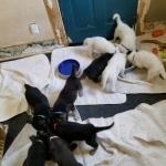 German Shepherd puppies 6 weeks old