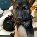 German Shepherd puppy black and tan male green collar 6 weeks old sold to Beth Wyoming Thank you