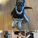 Silver and Black German Shepherd Color Line- Ivor in Wyoming