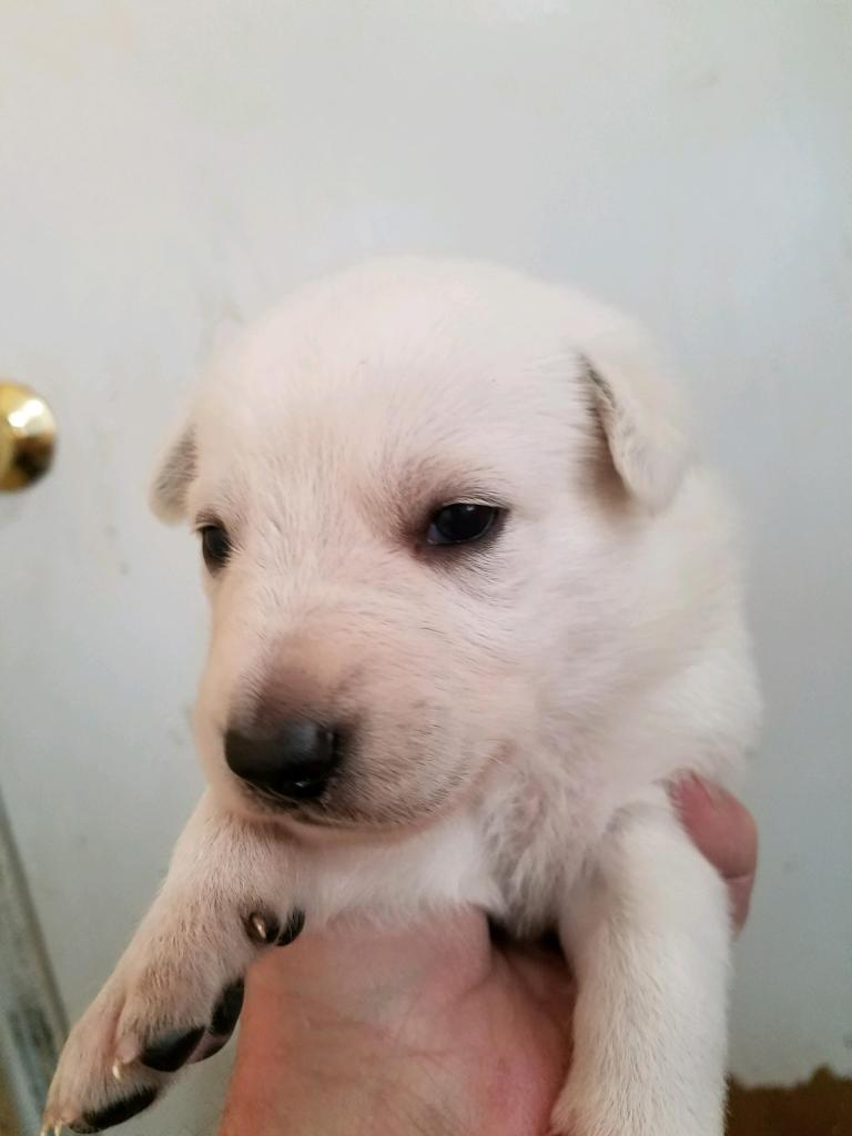 White Female #3 Snowcloud German Shepherd Puppy for Sale