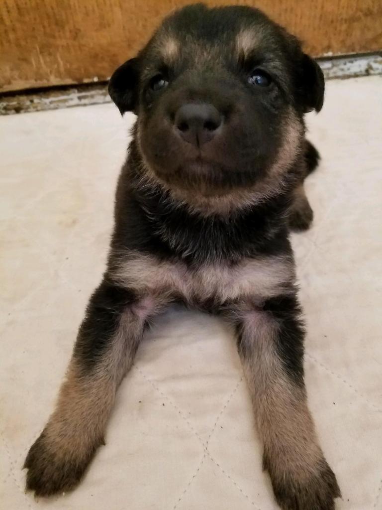 Black and Tan/Silver Female Snowcloud German Shepherd Puppy for Sale