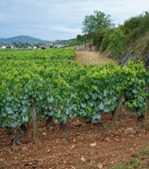 Montrachet but just 'over the border' into Chassagne - the first vines are those of DRC - see how the row is terminated by a wall of mother-rock on the right...