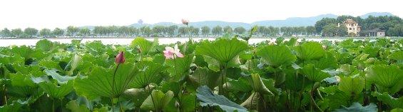 lotus on the west lake