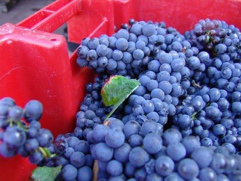 Corton Rognets - perfect grapes