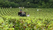 harvest – domaine louis chenu (savigny)
