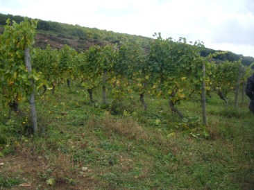 After-lunch-Hautes-Cotes-high-trained-Chardonnay-vines