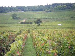 11-Day 5 - Looking up slope Clos de la Roche